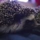 Couple of Little Pet Hedgehog Crawling on Blue Blanket in Apartments - VideoHive Item for Sale