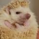 Female Hands Holding Energetic Pet Albino Hedgehog Indoors - VideoHive Item for Sale