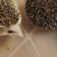 Couple of Houshold Hedgehogs Sitting in Plastic Box on Floor in Apartment - VideoHive Item for Sale