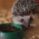Little Pet Hedgehog Eating Food Sitting in Wooden Cage - VideoHive Item for Sale