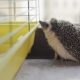 Cute Little Pet Hedgehog Sniffing Cage on Appartment Window Sill - VideoHive Item for Sale
