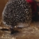 Cute Pet Hedgehog Eating Cockroach Sitting in Wooden Cage - VideoHive Item for Sale