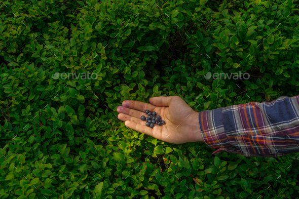 hand picking up a wild blueberries - Stock Photo - Images