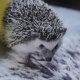 Cute Pet Hedgehog Smelling Everything Around - VideoHive Item for Sale
