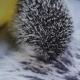 Cute Pet Hedgehog Licks It Nose Looking Around - VideoHive Item for Sale