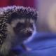 Sweet Pet Hedgehog Walking on Blue Blanket in Apartments - VideoHive Item for Sale