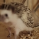 Little Pet Hedgehog Crawling on Wooden Cage Floor - VideoHive Item for Sale