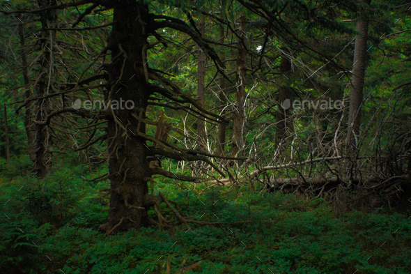 interesting green moody spruce forest landscape - Stock Photo - Images