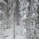 Spruces Trees Covered with Snow After Heavy Snowfall - VideoHive Item for Sale