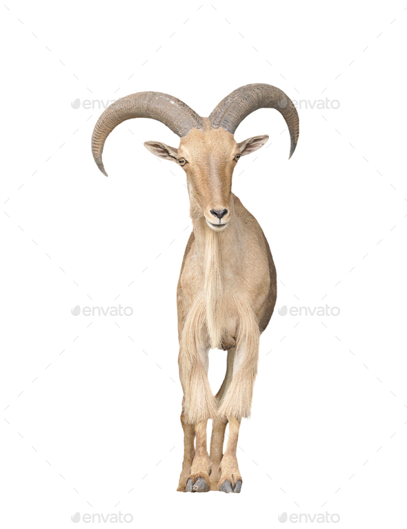 barbary sheep isolated on white background - Stock Photo - Images