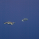 Two Green Turtles Swims in Open Ocean - VideoHive Item for Sale