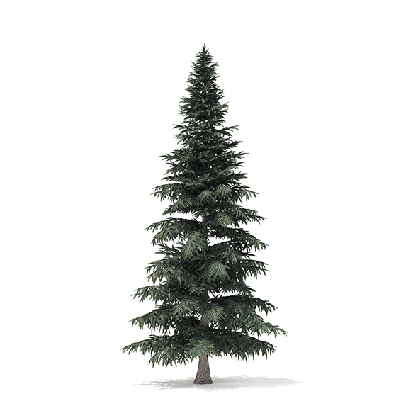 Spruce Tree 3D Model 8m - 3DOcean Item for Sale