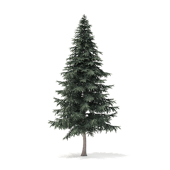 Spruce Tree 3D Model 7.8m - 3DOcean Item for Sale