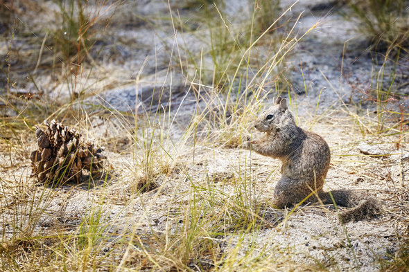 Squirrel in the Yosemite National Park, USA. - Stock Photo - Images