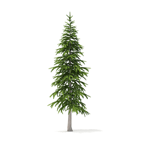 Fir Tree 3D Model 3.4m - 3DOcean Item for Sale