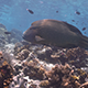 Napoleon Wrasse Swims in Shallow Water - VideoHive Item for Sale