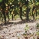 Legs of Female in White Dress Walking Along Grape Plants at Vinery - VideoHive Item for Sale