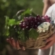 Girl in White Dress Holding Wooden Basket with Grape Plants at Vinery - VideoHive Item for Sale