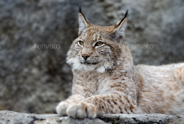 Young lynx portrait - Stock Photo - Images