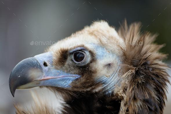 Vulture close-up portrait - Stock Photo - Images