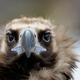 Vulture close-up portrait - PhotoDune Item for Sale