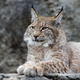 Young lynx portrait - PhotoDune Item for Sale