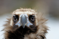 Vulture close-up portrait - PhotoDune Item for Sale