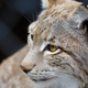 Young lynx close-up portrait - PhotoDune Item for Sale
