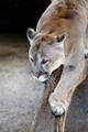 Cougar on a tree branch - PhotoDune Item for Sale