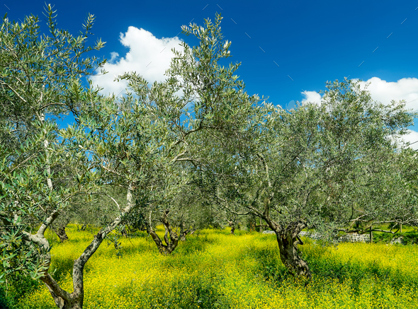 Beautiful olives garden - Stock Photo - Images
