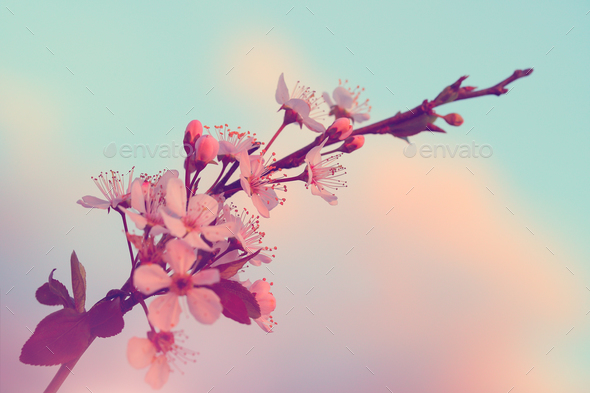 Sakura blooming - Stock Photo - Images