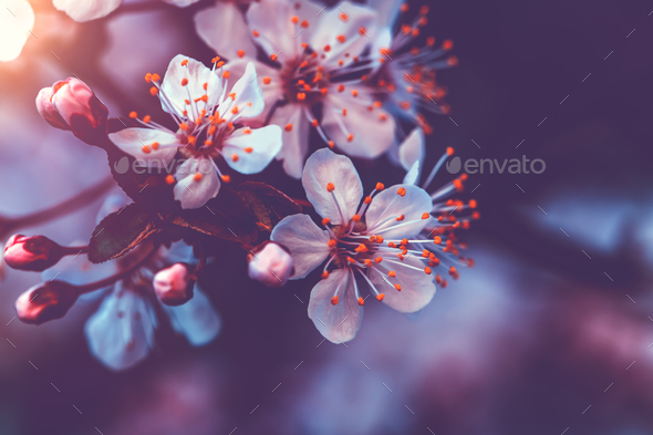 Gentle cherry blossom - Stock Photo - Images