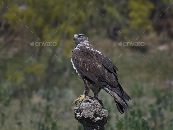 Bonellis eagle (Aquila fasciata) - Stock Photo - Images