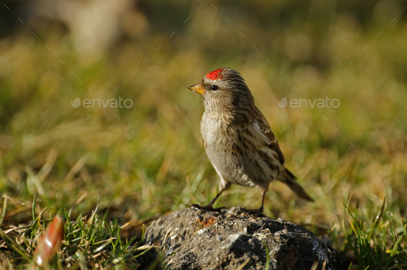 Redpoll (Carduelis flammea) is sitting on a stone - Stock Photo - Images