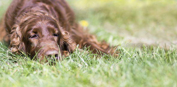 Cute lazy dog resting - Stock Photo - Images