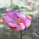 Lotus flowers in Vietnam - PhotoDune Item for Sale