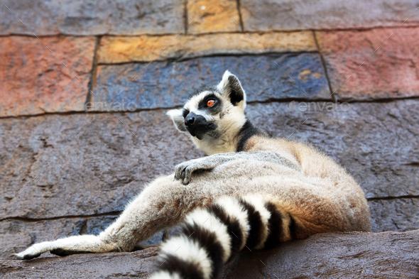 Wildlife animal - lemur - Stock Photo - Images