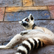 Wildlife animal - lemur - PhotoDune Item for Sale