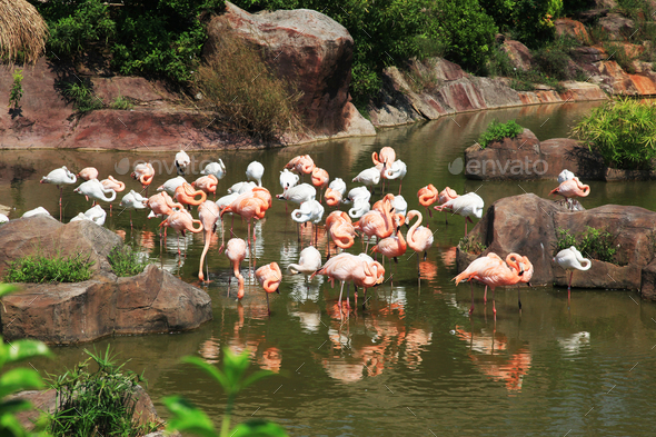 Pink and white flamingos - Stock Photo - Images