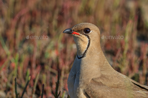 collared pratincole - Stock Photo - Images