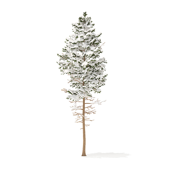 Pine Tree with Snow 3D Model 7.7m - 3DOcean Item for Sale