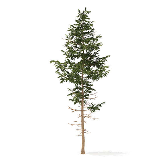Pine Tree 3D Model 10.2m - 3DOcean Item for Sale