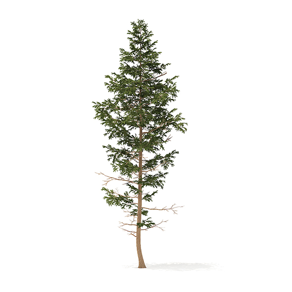 Pine Tree 3D Model 14m - 3DOcean Item for Sale