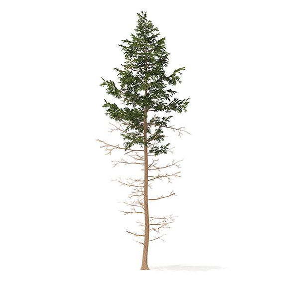 Pine Tree 3D Model 16m - 3DOcean Item for Sale