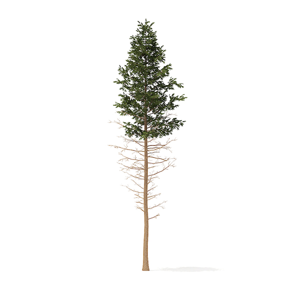 Pine Tree 3D Model 28.5m - 3DOcean Item for Sale