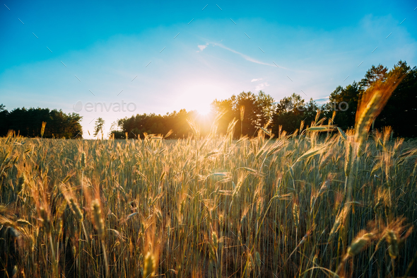 Summer Sun Shining Over Agricultural Landscape Of Green Wheat Fi - Stock Photo - Images