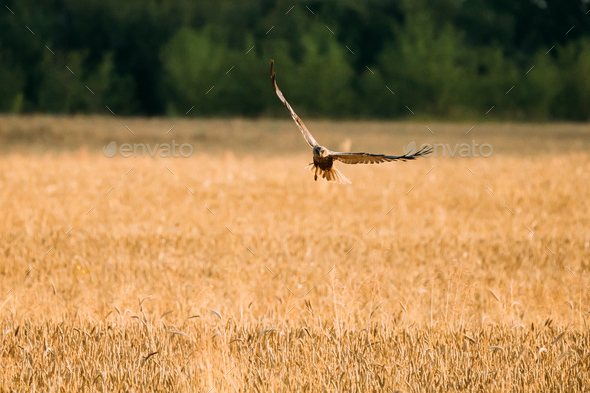 Hen Harrier Or Circus Cyaneus Wild Bird Flies Over Wheat Field I - Stock Photo - Images