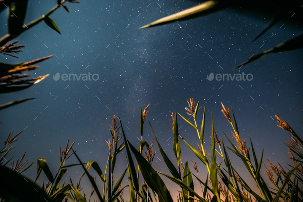 Bottom View Of Night Starry Sky With Milky Way From Green Maize - Stock Photo - Images
