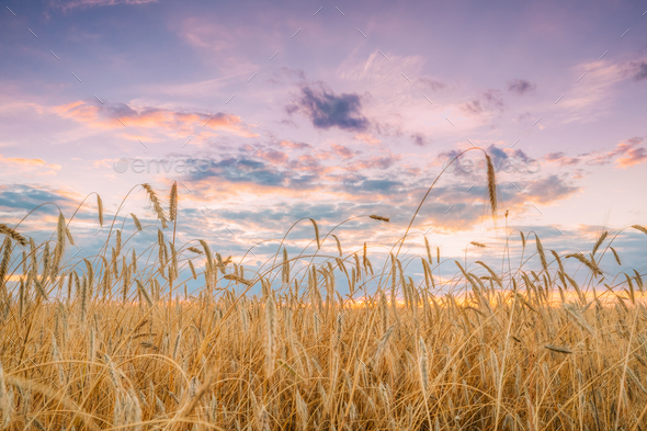 Summer Agricultural Landscape Of Young Yellow Wheat Field. Wheat - Stock Photo - Images