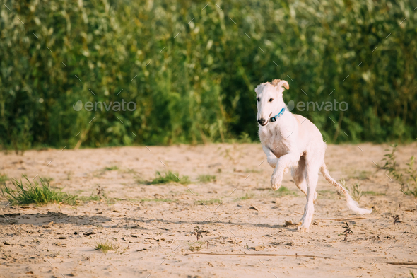 Running Puppy Of Russian Wolfhound Hunting Sighthound Russkaya P - Stock Photo - Images